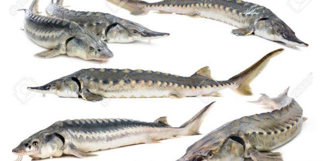 انواع ماهی های خاویاری و طرز تهیه خاویار آن - word